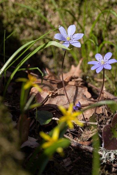 20150406_0130_Hepatica-nobilis
