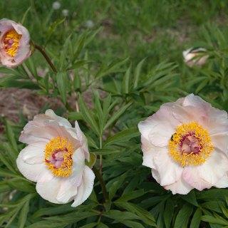 Paeonia 'Nosegay'