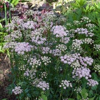 Apiaceae - Pimpinella rhodantha