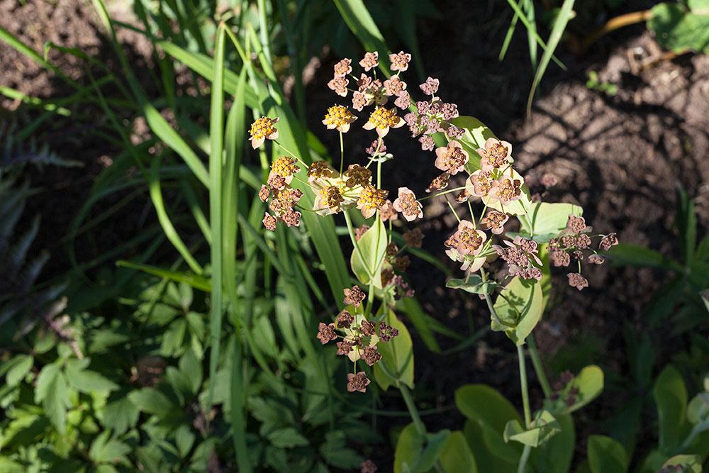 Apiaceae – flockblommiga växter som morot
