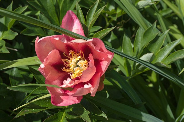 Paeonia itoh 'Old Rose Dandy'