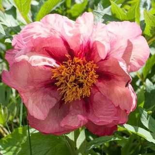 Paeonia 'Mme Louis Henry'