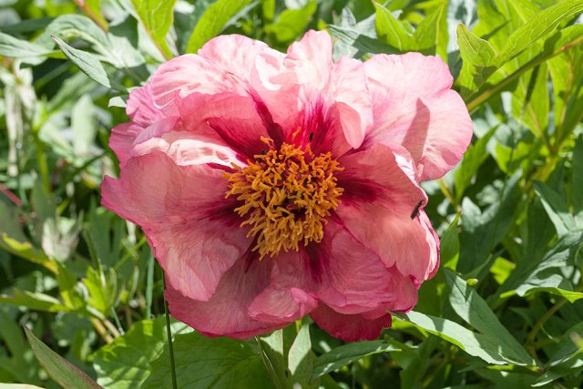 Paeonia lutea 'Mme Louis Henry'