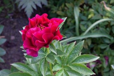 Paeonia hybr. 'Old Faithful'