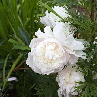 Paeonia lactiflora 'Shirley Temple'