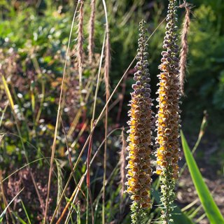 Digitalis ferruginea ssp schischkinii