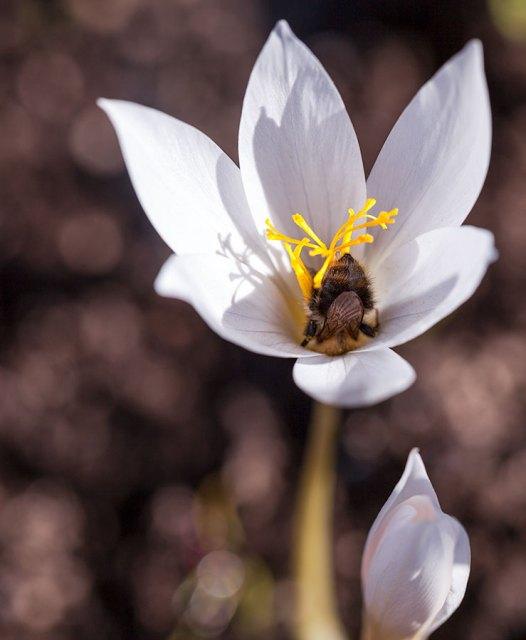 Crocus speciosus albus