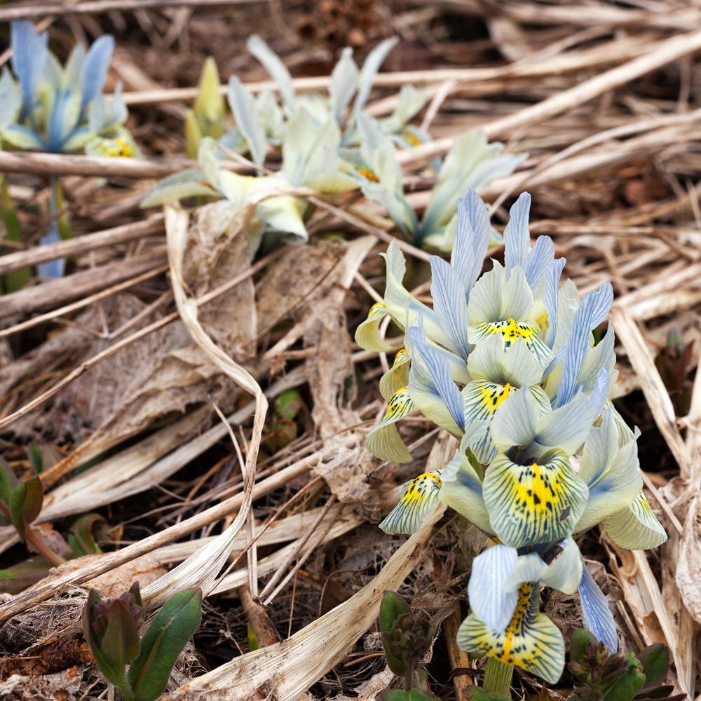 Jämförelse av 3 vackra iris