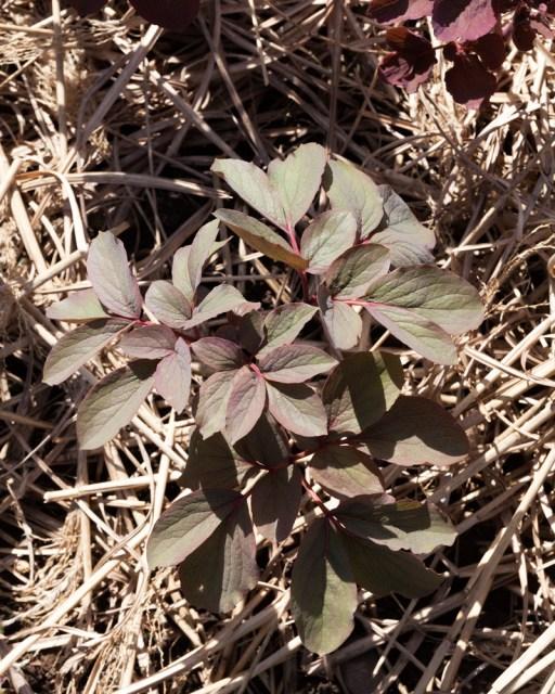 Ordlöst - Paeonia mlokosewitchii