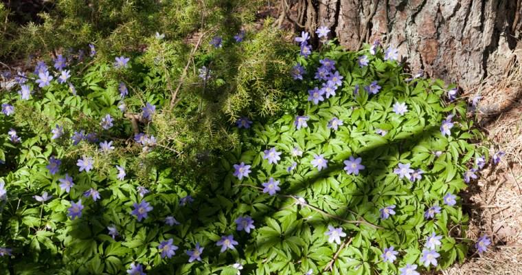 Sippor och rosor – mer Ranunculaceae