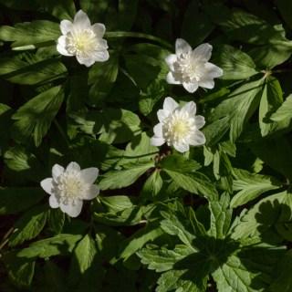 Anemone nemorosa 'Vestal'