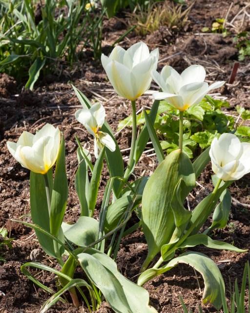 Vårligt grönt - Tulipa 'Purissima'