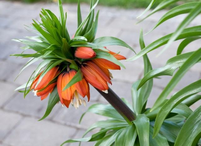 Fritillaria imperialis 'William Rex'