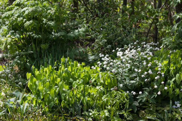 sockans, Ranunculus aconitifolius 'Flore Pleno'