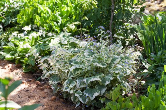 Sockans, Brunnera macrophylla 'Variegata'