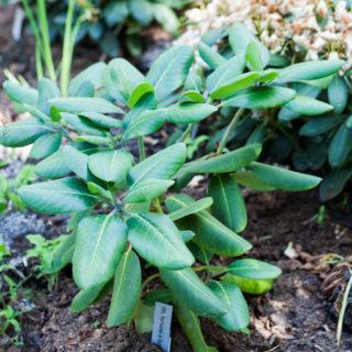 Rhododendron fortunei x fortunei