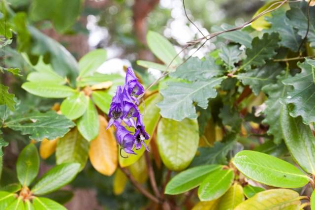 Aconitum volubile