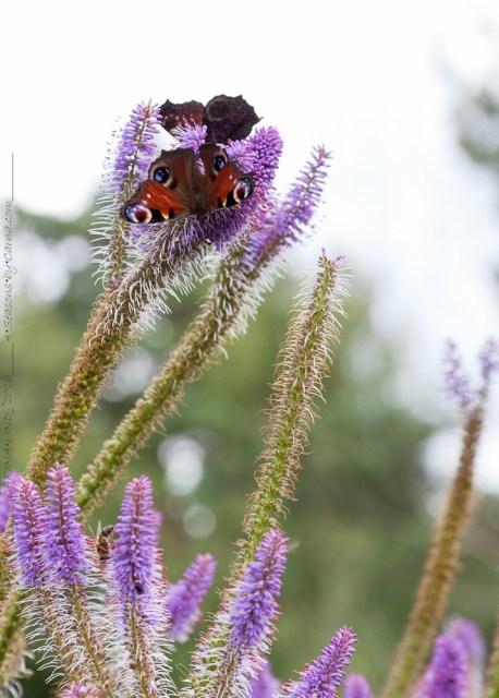 Insektskupan - Veronicastrum virginicum