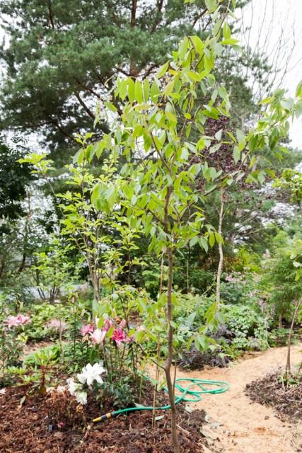 Skynda - Acer carpinifolium