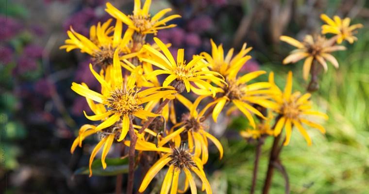 Compositae – korgblommiga växter 2