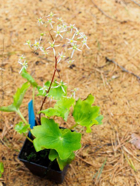 Höstbräckor - Saxifraga fortunei