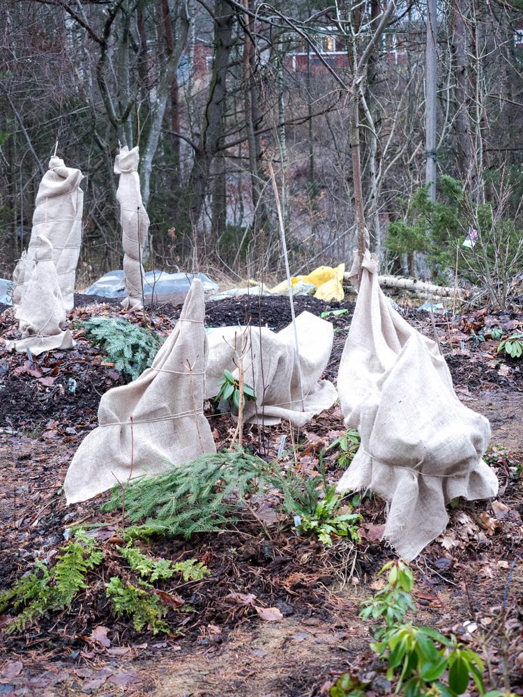 Spöken och juteväv - Vintertäckning av rhododendron