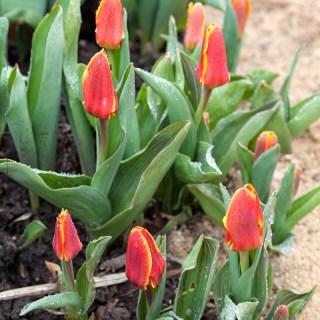 Tulipa 'Early Harvest'