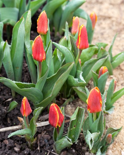 Tulipa 'Early Harvest'