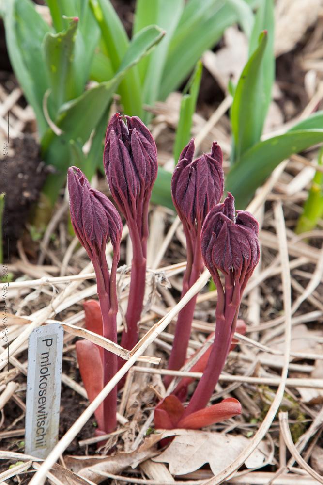 Pionskott - Paeonia mlokosewitchii seedling