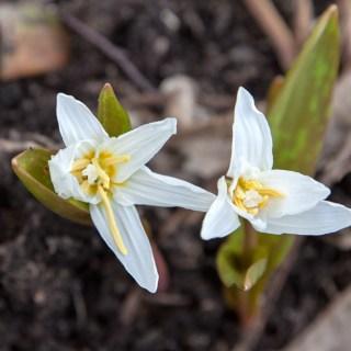 Erythronium sibiricum 'Altai Snow'