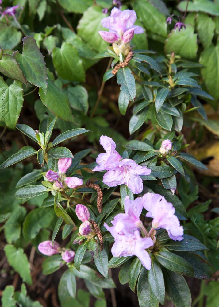 Rhododendron Calostrotum-grp 'Robert Seleger'