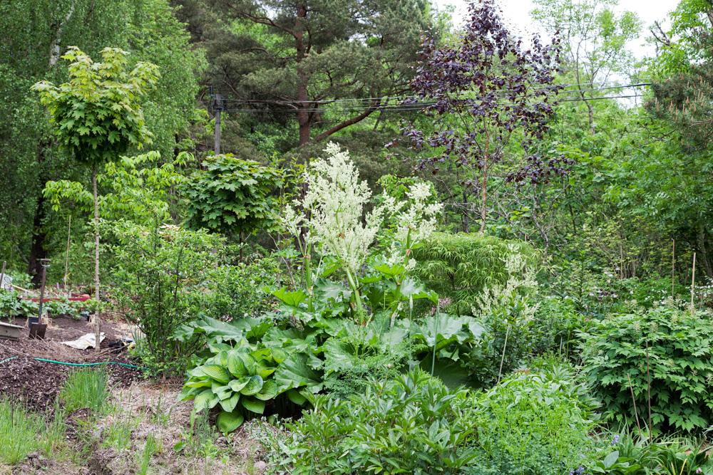 Svensk sommar - rabarberblom