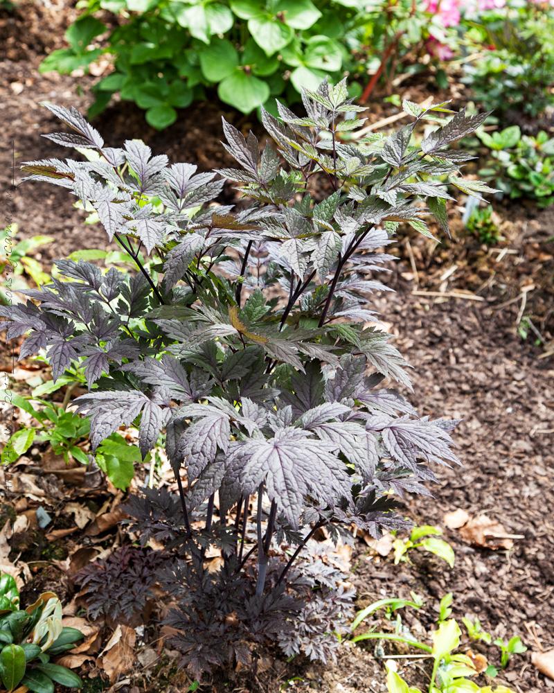 Actaea simplex 'Chocoholic'