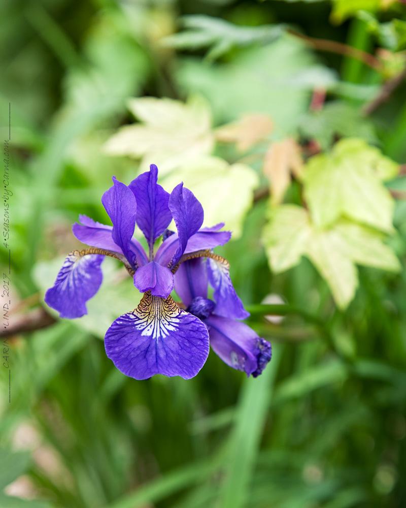 Iris sibirica namnsort eller den rena arten