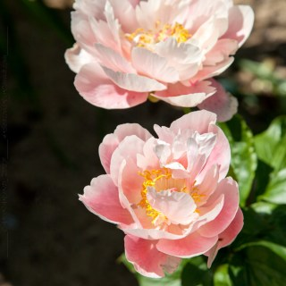 Paeonia hybr. 'Mary Gretchen'