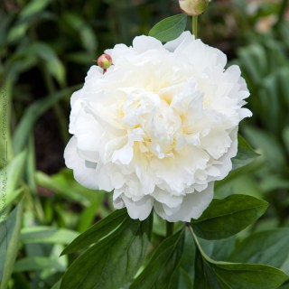 Paeonia lactiflora 'Amalia Olsen'