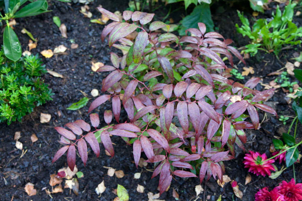 Leucothoe keiskei 'Royal Ruby'