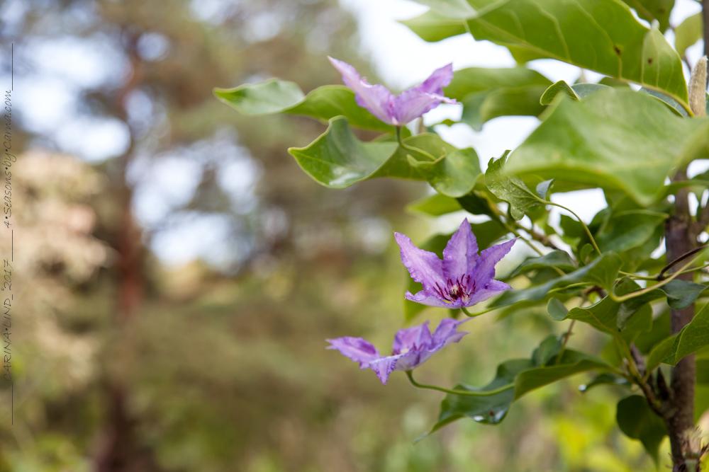 Purpurfärgad höstpremiär i blommig fredag