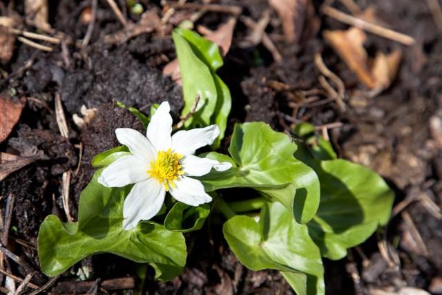 Ljus - Caltha leptosepala, iskabbleka