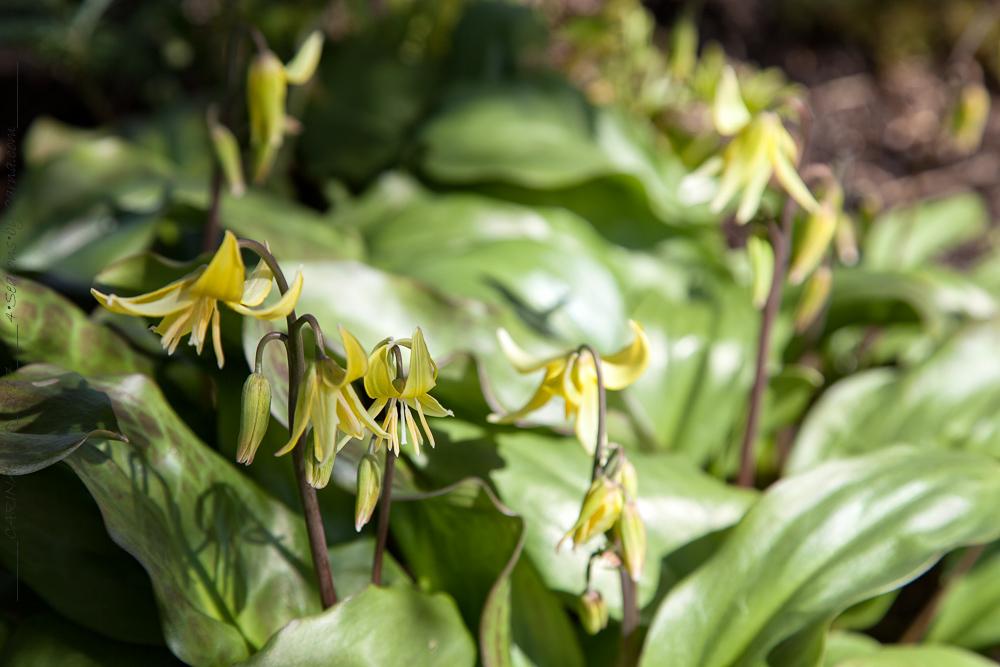 Liliaceae och fler vårblommande lökar och knölar