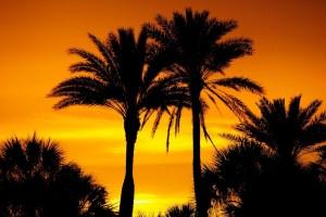 siesta palms