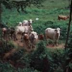 ¿Qué le impide a la ganadería de Nicaragua alcanzar todo su potencial?
