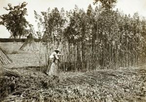 Gathering-hemp