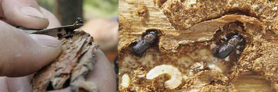 El escarabajo y sus larvas en los árboles que infecta  (Foto: cortesía).