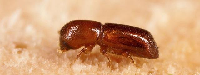 Imagen de escarabajo ambrosia de laurel rojo (Xyleborus glabratus), una de las especies en las que enfoca sus investigaciones el doctor Martín Aluja, director del Inecol (Foto: (Foto: Stephn Ausmus).