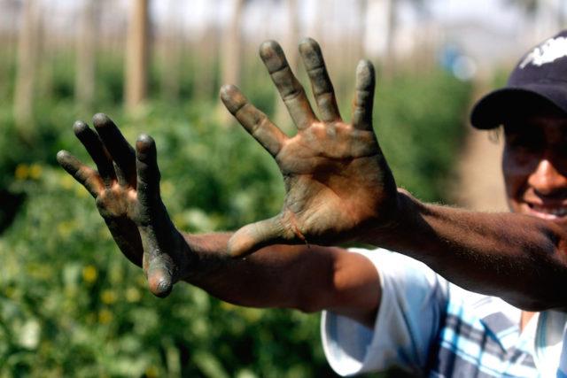 CULIACAN, SINALOA 16MARZO2011.- A mas de un mes de la contingencia climatologica que afecto una gran parte de los cultivos en el estado, los trabajos de resiembra muestran un gran avance, los campos vuelven a estar verdes. Sin embargo todavia esta la incertidumbre de que se vuelvan a perder, ya que el tiempo de lluvia tambien sera un factor determinante. Jornaleros y agricultores estiman que, aproximadamente, en 3 meses este la cosecha. FOTO: RASHIDE FRIAS/CUARTOSCURO.COM