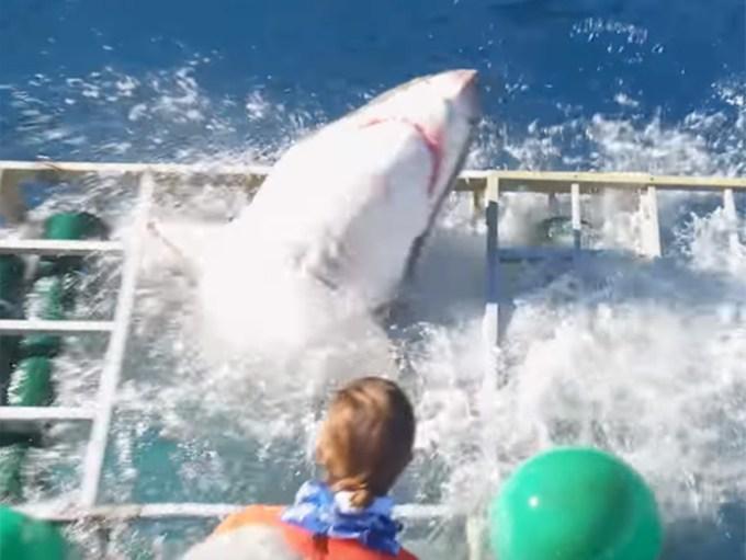 tiburon-blanco-emerge-de-jaula-observacion