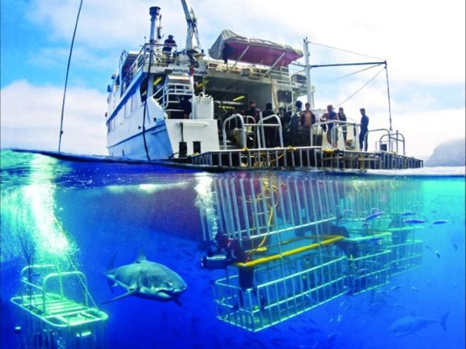 tiburon-blanco-yates-de-observacion-jaulas