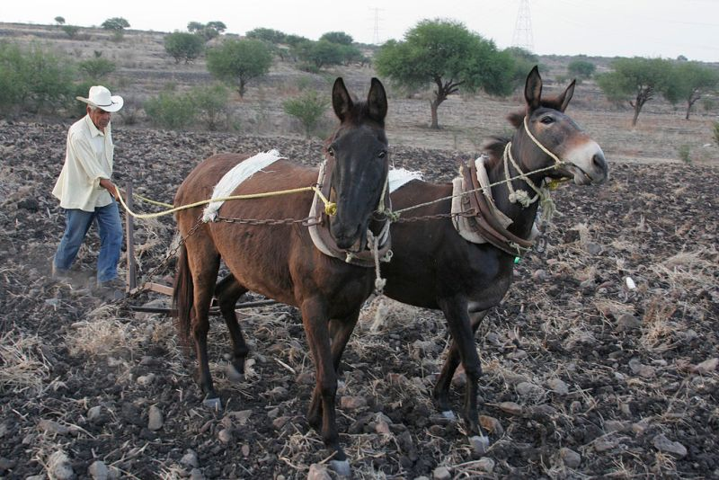campesino-ara-mulas