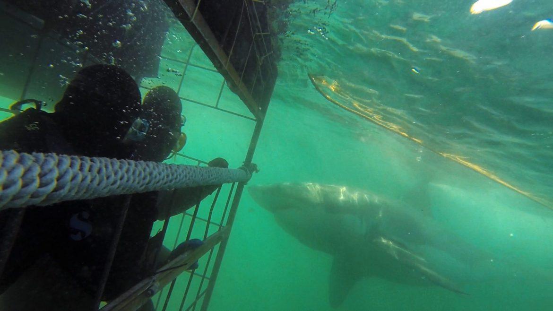 Great White Shark Diving | 50ftbelow.com